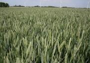 Enhedslisten vil stække ministeren i sag om GMO-afgrøder. Arkivfoto.