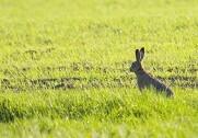 LMO melder om flere harer på markerne. Pressefoto.