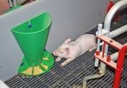 Foderet skal lugte og smage godt, så det er attraktiv for grisene at spise. Arkivfoto.