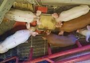 Fodring i bakke øger antal daglige besøg ved foderet i forhold til fodring i traditionelle trug.