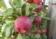 Den økologiske æblehøst er truet, mener Økologisk Landsforening. Pressefoto.