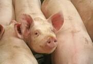 Pilleteret foder har en større mavesårsindeks end melfoder. Arkivfoto.
