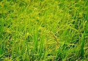 Såkaldte Gyldne Ris har fået en række nobelprisvindere til at skrive et åbent brev til forsvar for GMO-afgrøder. Foto: Colourbox.