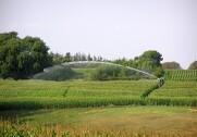 Hvis majsen er sprød, skal man passe på, når man vander. Foto: Agrofoto.