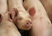 De danske svineproducenter har søgt om tilskud til stalde, som har plads til næsten 2 millioner slagtesvin. Arkivfoto