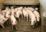 Hvis først grisens vækstkurve bliver bremset, viser flere undersøgelser, at de aldrig kommer med igen. Foto: Arkivfoto.