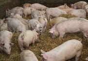 Det kinesiske marked tørster efter kød. Det presser svinenoteringen i vejret. Arkivfoto
