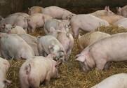 Der er ikke så mange, der dør af husdyr-MRSA. Arkivfoto.