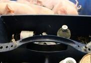 Miljø- og fødevareministeren ændrer på reglerne for Gult-kort ordningen i svinesektoren. Arkivfoto.