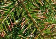Danske Juletræer etablerer forskningsenhed og har allerede første projekt klar. Man vil vide mere om røde nåle i Normannsgraner. Pressefoto.