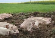 2015 blev driftsresultatet for økologiske svinebedrifter på 2,5 millioner kroner, hvilket er en stigning på 2,0 millioner kroner i forhold til 2014. Arkivfoto.