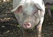De danske økologiske svineproducenter har forbedret deres overskud med knap to millioner kroner på ét år.