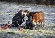Dyrene går stadig på græs. Det er muligt, fordi de har et telt med halm at gå ind i, og fordi marken er forberedt til vintergræsning. Pressefoto.