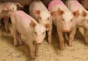 Bæredygtigt Landbrug støtter Danske Svineproducenters kampagne mod Dyrenes Beskyttelse. Pressefoto.