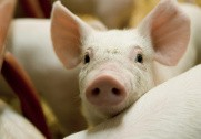 Landbrug & Fødevarer har klager til Fødevarenævnet over at udbrydere af DanBred har krævet stamtavler på deres dyr. Arkivfoto.