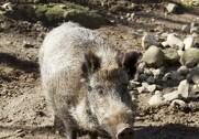 Den afrikanske svinepest er kommet til Europa. Foto: Colourbox.