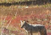 Erik Poulsen mener, at der er gået for langsomt med at gribe ind over for ulven. Foto: Colourbox