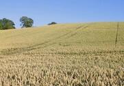 Der er fremgang at spore i hvedemarkedet, rapporterer Jyske Markets.