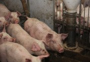 Kina sænker importafgifter på svineprodukter. Arkivfoto