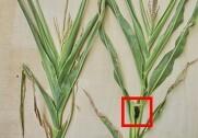 På fotoet ses til venstre en majsplante, der ikke har dannet hunblomst, og som derfor ikke kommer til at danne en kolbe. Til højre en plante, som har dannet hunblomst (i den røde firkant), og som derfor har chance for at danne en kolbe med kernefyldning. Foto: KWS