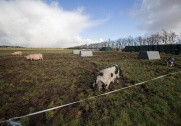 Øko procuenter vælger ny type grise. Billedet har ikke noget med artiklen at gøre. Arkivfoto