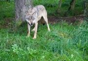Den nationale overvågning af ulve viser ingen nye spor efter hvalpe. Foto: Colourbox.