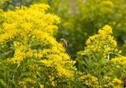 Bierne er truet. 10 nye bi-råd til landmænden skal være med til at få bestanden til at vokse. Arkivfoto.