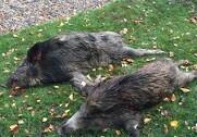 Et højrisikoområder er etableret indenfor en radius på et par kilometer fra de områder i Belgien, hvor der har været tilfælde af afrikansk svinepest. Vildsvinene på foto er skudt i Danmark. Arkivfoto.