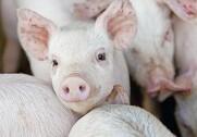 Nord- og Sydamerika er sammen med Australien de eneste tilbageværende verdensdele, hvor den afrikanske svinepest ikke er fundet indtil nu. Arkivfoto.