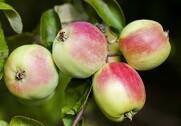 Det danske klima er ret unikt, hvad angår æbler på grund af jordbunden, vind og vejr. Foto: Colourbox.