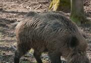 Myndighederne i Polen har fundet et vildsvin med ASF 85 kilometer fra den polske-tyske grænse. Foto: Colourbox.