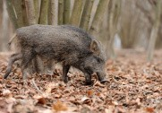 Afrikansk svinepest i det vestlige Polen udgør en risiko for den tyske svinebestand. Foto: Colourbox.